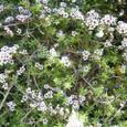 マヌカの花(ティーツリーの花)